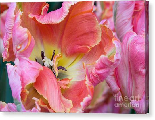Pink Parrot Canvas Print by Diana Jo Marmont