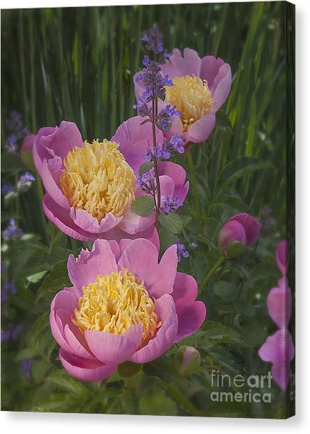 Pink Peonies In My Garden Canvas Print by Ann Jacobson