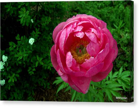 Pink Peony Colchester Vermont Canvas Print by Mark Holden
