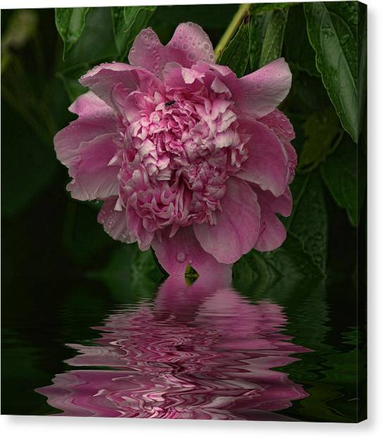 Pink Peony Reflection Canvas Print