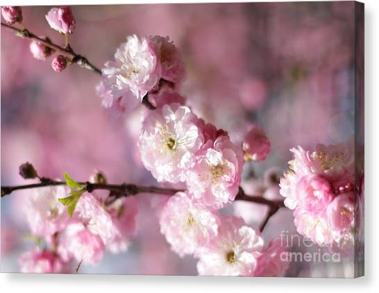 Pink Plum Branch 1 Canvas Print