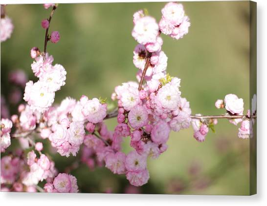 Pink Plum Branch On Green 2 Canvas Print