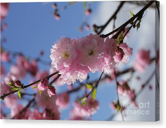 Pink Plum On Sky 2 Canvas Print