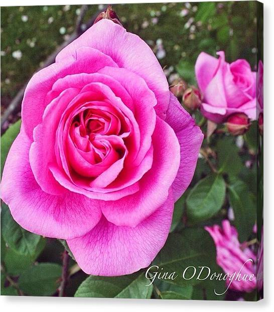 United Kingdom Canvas Print - Pink Princess Roses by Gina ODonoghue