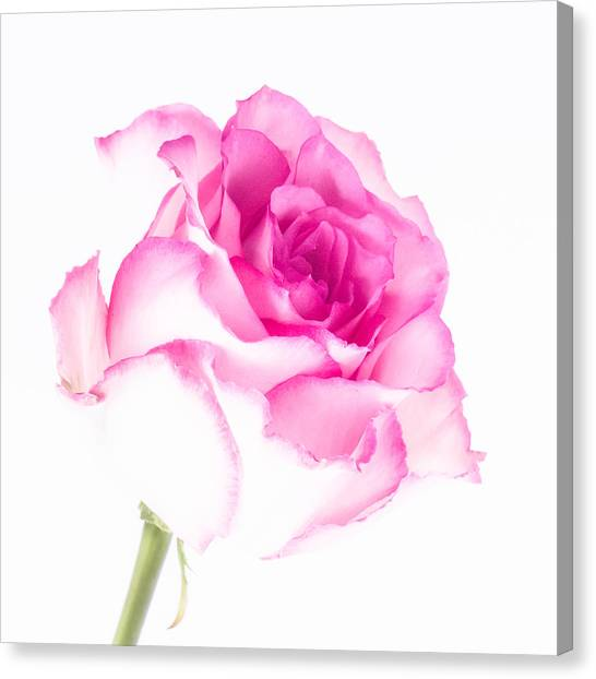 Pink Rose Confection Canvas Print