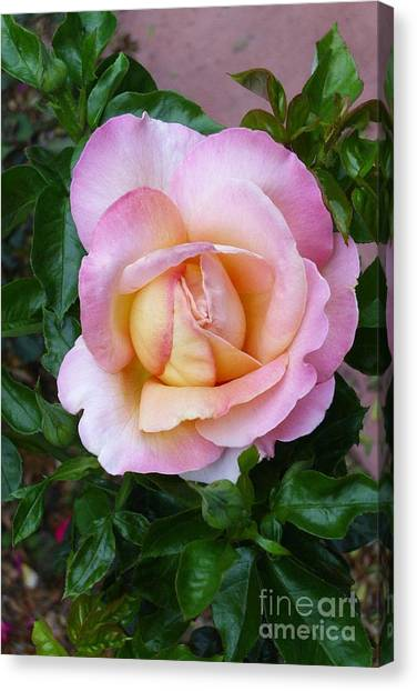 Pink Rose Flowering Canvas Print