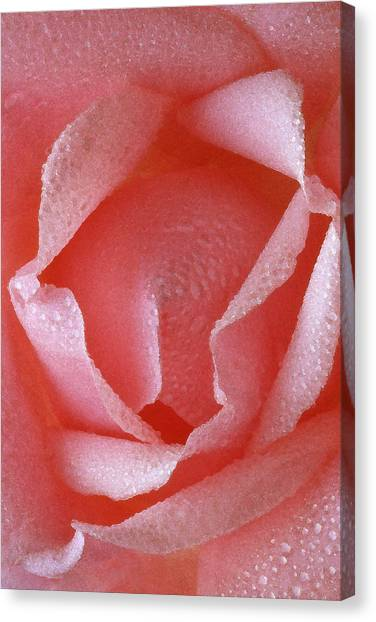 Pink Rose IIi Canvas Print