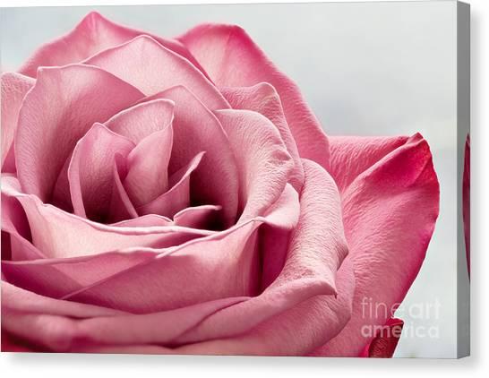 Pink Rose Macro Canvas Print