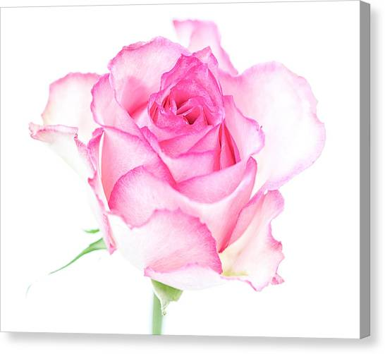Pink Rose Proud Canvas Print