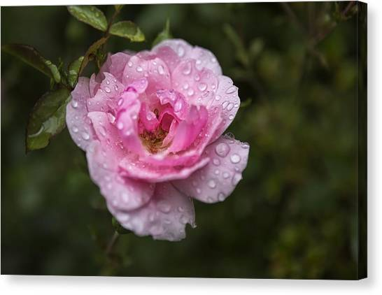 Canvas Print featuring the photograph Pink Rose With Raindrops by Belinda Greb