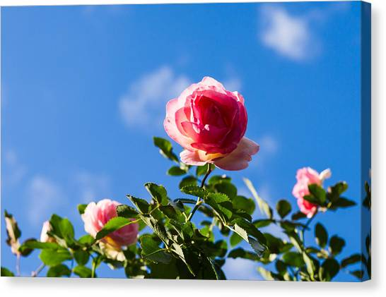 Rose Canvas Print - Pink Roses - Featured 3 by Alexander Senin