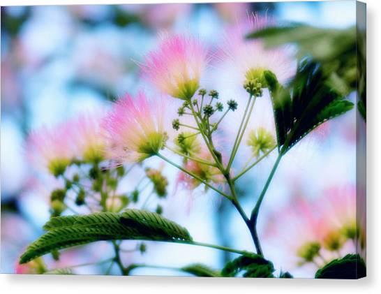 Mimosa Canvas Print - Pink Silk (albizia Julibrissin F. Rosea) by Maria Mosolova/science Photo Library