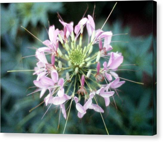 Pink Cleome' Canvas Print