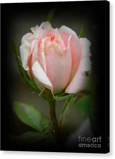 Pink Tea Rose Canvas Print