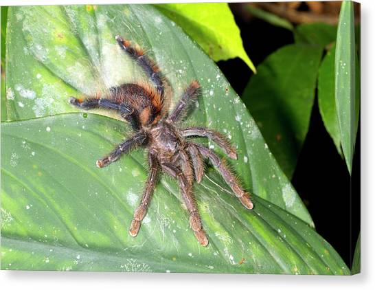 Pink Toed Tarantula Canvas Print by Dr Morley Read
