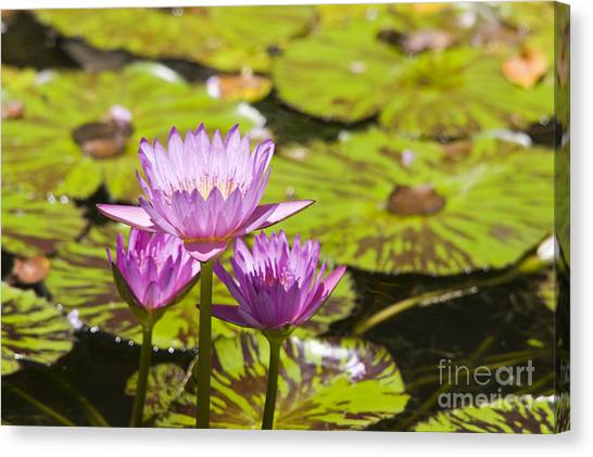 Pink Tropical Water Lilly Canvas Print
