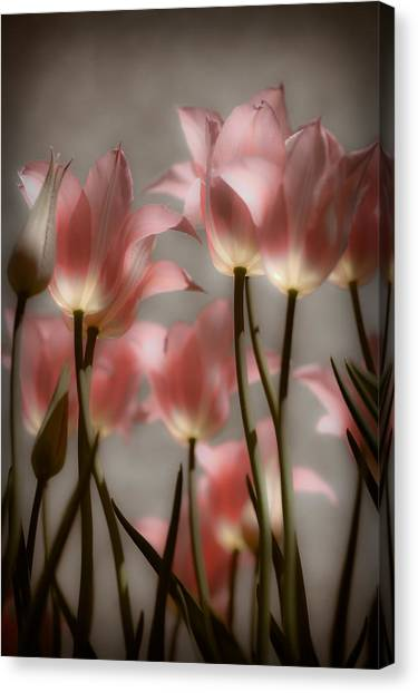 Pink Tulips Glow Canvas Print