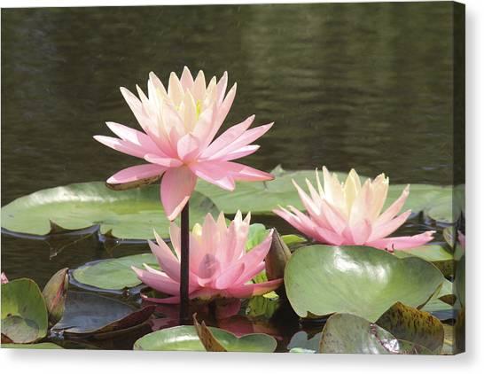 Pink Waterlilies Canvas Print
