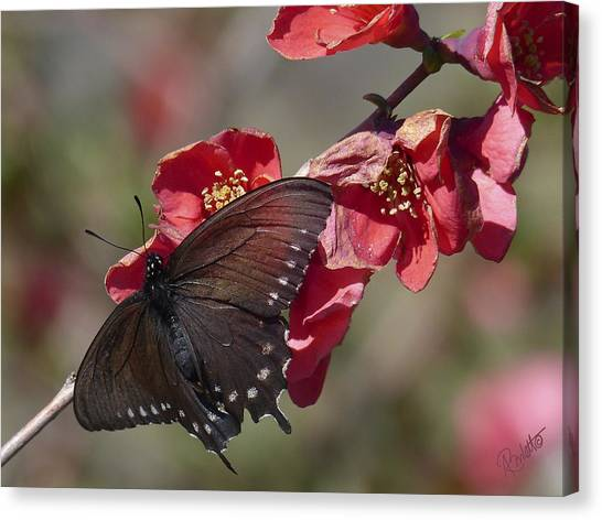 Pipevine Swallowtail And Roses Canvas Print