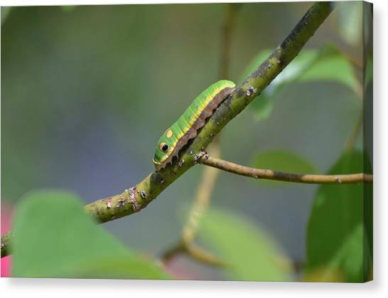 Pipevine Swallowtail Caterpillar Canvas Print