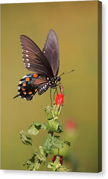 Pollinator Canvas Print - Pipevine Swallowtail Nectaring by Larry Ditto