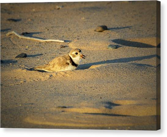 Piping Plover Adult Canvas Print