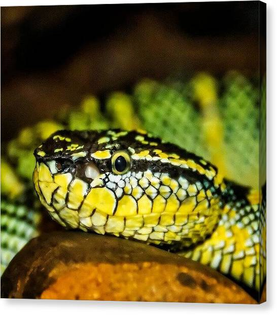Vipers Canvas Print - Pit Viper by Rahman Galela