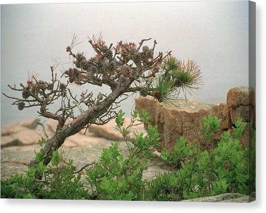 Pitch Pine Canvas Print