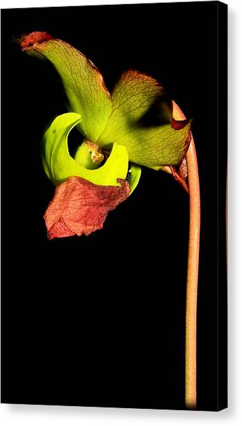 Pitcher Me Perfect.... Canvas Print