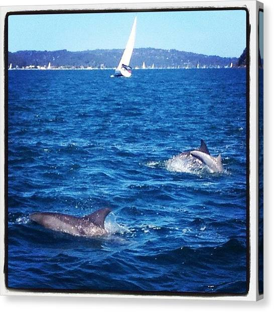 Dolphins Canvas Print - #pittwater #spring #sydney by Robert Hutchison