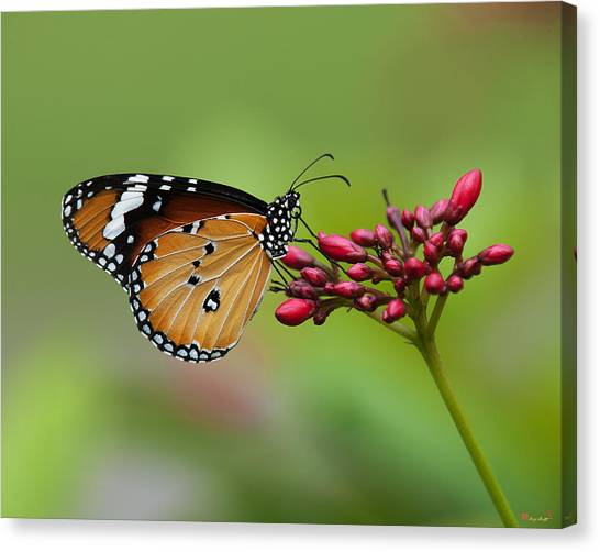 Plain Tiger Or African Monarch Butterfly Dthn0008 Canvas Print