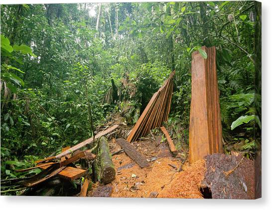 Deforestation Canvas Print - Planks Cut From Rainforest Tree by Dr Morley Read