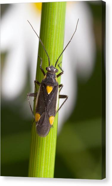 Plant Bug Canvas Print by Science Photo Library