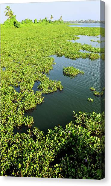 Bayous Canvas Print - Plant Growth Along The Kumarakom by Steve Roxbury