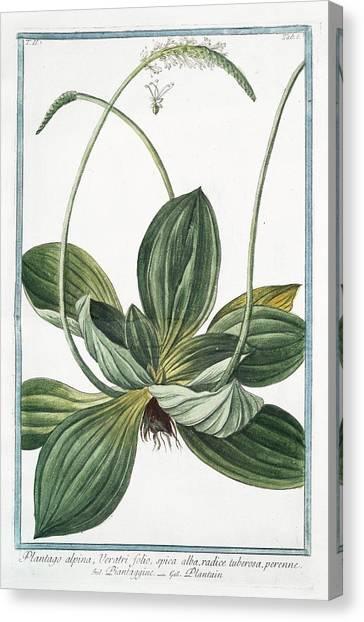 18th Century Canvas Print - Plantago Alpina by Rare Book Division/new York Public Library