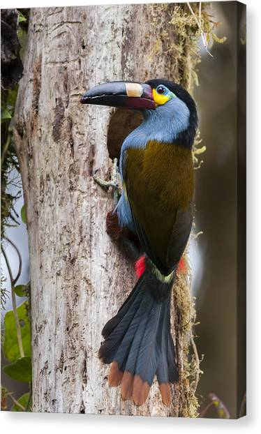 Cavity Canvas Print - Plate-billed Mountain-toucan At Nest by Tui De Roy