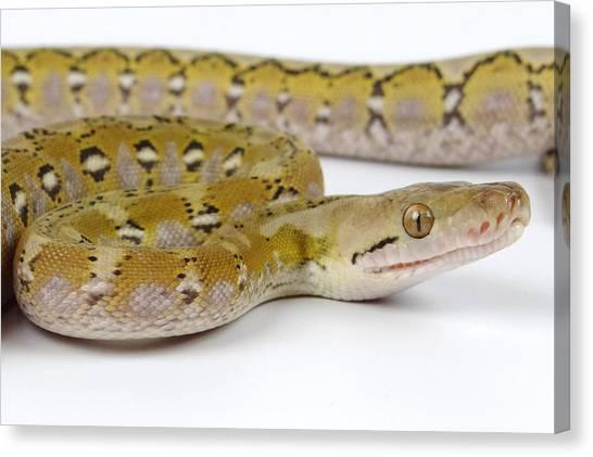 Reticulated Pythons Canvas Print - Platinum Beauty by Jeremey Gregg
