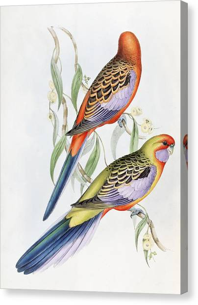 Parakeets Canvas Print - Platycercus Adelaidae From The Birds Of Australia by John Gould