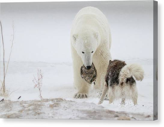 Polar Bears Canvas Print - Play With Me by Alessandro Catta