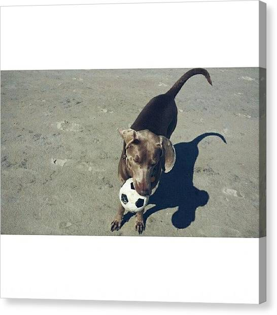 Weimaraners Canvas Print - Playin' On Lissy's Beach 😄👌 by Til Effinghausen