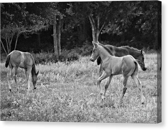 Playing Foals Canvas Print by Melissa Ahlers