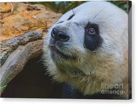 Pleading Panda Canvas Print