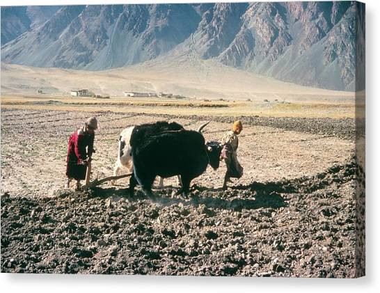 Yak Canvas Print - Ploughing Fields At Thonde by Simon Fraser/science Photo Library