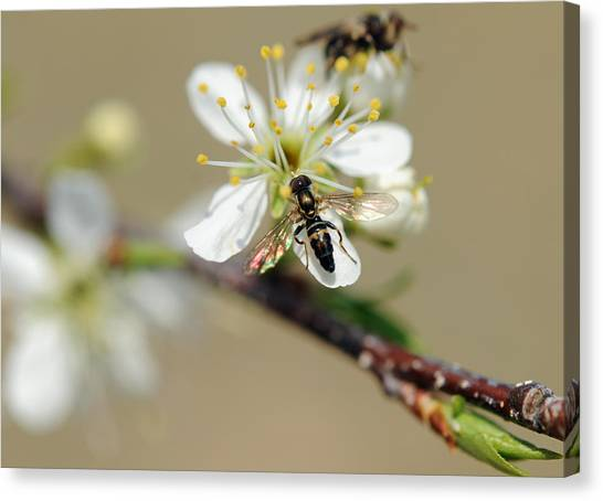 Plum Pollinator  Canvas Print by Giffin Photography