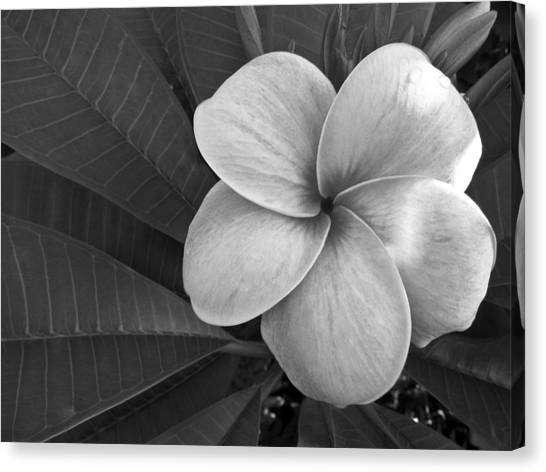 Plumeria With Raindrops Canvas Print
