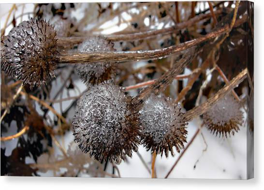 Pods In Ice Canvas Print