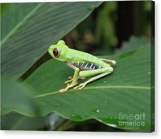 Poison Dart Frog Canvas Print