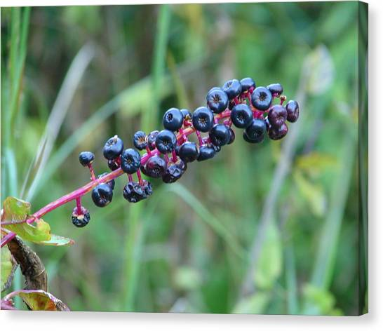 Wild Berries Canvas Print - Poke Berries by Lew Davis