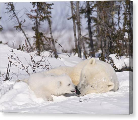 Polar Bear Cub Kisses Mother Canvas Print