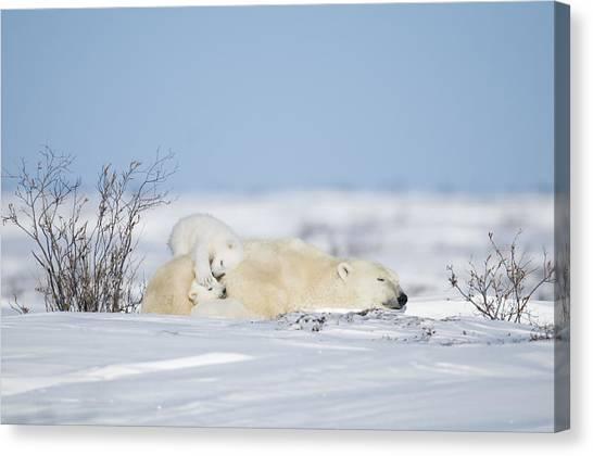 Polar Bear Cubs Play On Mothers Back Canvas Print